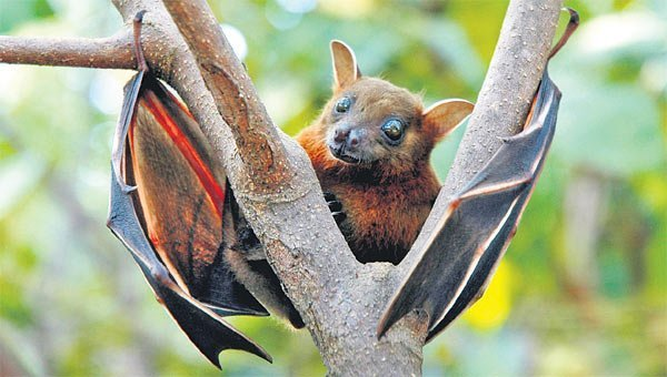 Coronaviruses found in two Indian bat species: ICMR study